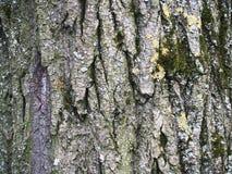 La bella corteccia con muschio verde Immagine Stock
