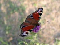 La bella farfalla Fotografia Stock