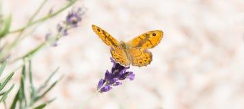 La bella farfalla arancio sopra la lavanda viola fiorisce fotografia stock