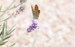 La bella farfalla arancio sopra la lavanda viola fiorisce immagini stock
