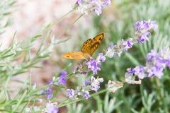 La bella farfalla arancio sopra la lavanda viola fiorisce fotografia stock libera da diritti