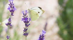 La bella farfalla bianca sopra la lavanda viola fiorisce fotografie stock