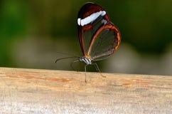 La bella farfalla con vede attraverso le ali Fotografie Stock Libere da Diritti