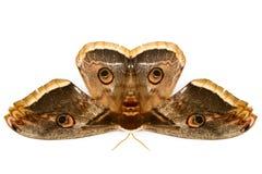 La bella farfalla gigante del lepidottero di seta Immagini Stock Libere da Diritti