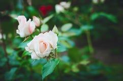 La bella fioritura è aumentato su sfondo naturale verde immagini stock