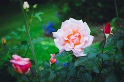 La bella fioritura è aumentato su sfondo naturale verde fotografia stock