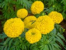 La bella fioritura gialla dei fiori del tagete immagini stock libere da diritti