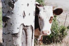 La bella giovane mucca dà una occhiata a fuori fotografia stock