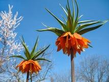 La bella grande arancia fiorisce i gigli su un fondo della SK blu Fotografie Stock