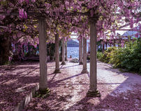 La bella iarda anteriore con le colonne e le glicine fiorisce Immagine Stock