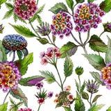 La bella lantana o verbena del Brasile fiorisce con le foglie verdi su fondo bianco Modello floreale di estate senza cuciture Immagine Stock Libera da Diritti