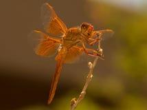 La bella libellula arancio visita il giardino urbano Immagine Stock Libera da Diritti