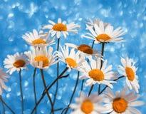 La bella margherita bianca tenera delicata fiorisce in un mazzo astuto Fotografia Stock Libera da Diritti