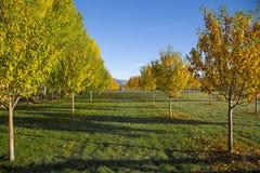 La bella mattina di caduta su un albero ha allineato l'azienda agricola Fotografia Stock