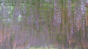 La bella molla fiorisce la serie, traliccio di glicine in giardino video d archivio