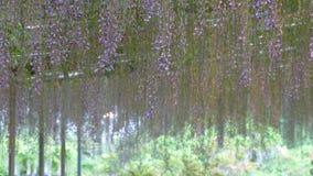 La bella molla fiorisce la serie, traliccio di glicine in giardino stock footage