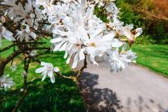 La bella molla rosa fiorisce la magnolia su un ramo di albero Fotografia Stock Libera da Diritti