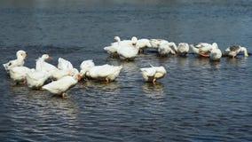La bella moltitudine di oche è nuotante e pascente nel fiume Bird-watching dalla riva video d archivio