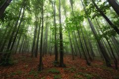 La bella natura alla mattina nella foresta nebbiosa della molla con il sole rays fotografia stock libera da diritti