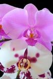 La bella orchidea Fotografie Stock Libere da Diritti