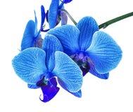 La bella orchidea blu senza fondo, orchidea blu luminosa fiorisce su un fondo bianco Fotografie Stock Libere da Diritti