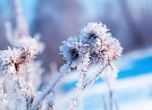 La bella pianta semina la bardana coperta di cristalli brillanti bianchi Immagini Stock
