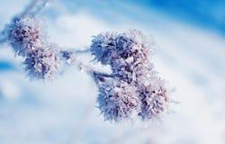 La bella pianta semina la bardana coperta di cristalli brillanti bianchi Immagini Stock Libere da Diritti