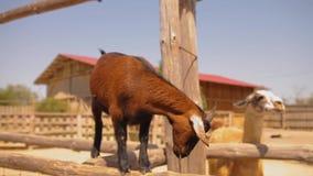La bella piccola capra marrone esamina la macchina fotografica stock footage