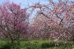 La bella prugna fiorisce la fioritura fotografia stock