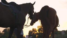 La bella ragazza tiene due cavalli per le redini stock footage