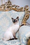 La bella razza rara del gatto Mekongsky taglia la coda all'animale domestico che femminile il gatto senza coda si siede l'interno fotografia stock libera da diritti