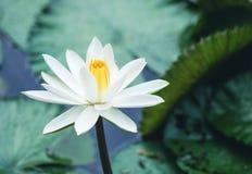 La bella riflessione del fiore o della ninfea di loto bianco con la t Fotografie Stock