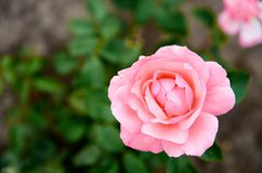 La bella rosa rosa-chiaro ha isolato la fioritura su fondo verde vago nella fine del giardino su con lo spazio della copia dalla  Immagine Stock