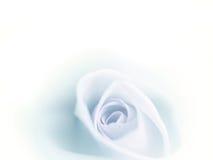 La bella rosa del blu della sfuocatura si è sbiadita su fondo bianco Fotografia Stock Libera da Diritti