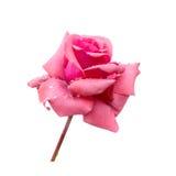 La bella rosa di rosa con rugiada è isolata su fondo bianco, Cl fotografia stock