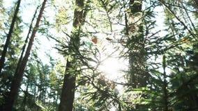 La bella vista dei rami di pini e dell'abete coperti dal web e secchi lascia in foresta contro il cielo blu-chiaro e video d archivio