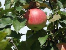 La bella vista della mela rossa sul ramo immagini stock