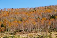 La bella vista delle foglie di autunno di Shiga Kogen nel Giappone immagine stock
