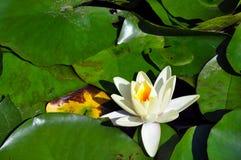 La bella waterlily fioritura sola al livello calmo dell'unità di elaborazione Fotografia Stock Libera da Diritti