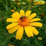La belle abeille sur la fleur Image libre de droits