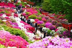 La belle azalée fleurit au tombeau de Nezu, Tokyo Photos stock