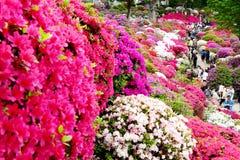 La belle azalée fleurit au tombeau de Nezu, Tokyo Images stock