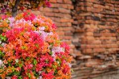 La belle bouganvillée fleurit la floraison dans le jardin avec photos stock