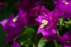 La belle bouganvillée magenta fleurit le plan rapproché Couleurs vives et bleu, fond trouble mou vert Images libres de droits