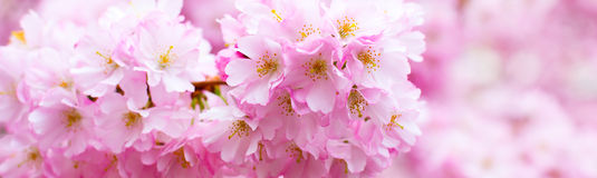 La belle branche rose de fleurs de cerisier, Sakura fleurit sur le blanc Photo libre de droits