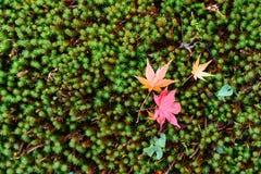 La belle couleur d'automne du Japon Lames japonaises d'érable rouge Images libres de droits
