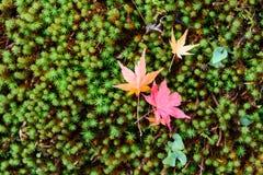 La belle couleur d'automne du Japon Lames japonaises d'érable rouge Photo libre de droits