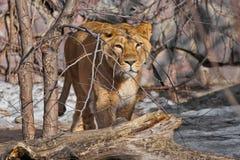 La belle et forte lionne prédatrice la femelle rampe par derrière les buissons attentivement et vous regarde ardemment images libres de droits