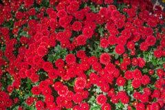 La belle fin d'image de chrysanthème d'automne rouge de fleur  Photos stock