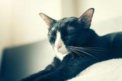 La belle fin grasse noire et blanche observe le chat Avec l'espace de copie Photos libres de droits